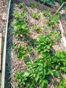 Verhoogd bed met aardbeien